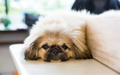 Cute Love Wallpaper Hq Download Wallpapers Pekingese Small Dog Cute Fluffy Dogs
