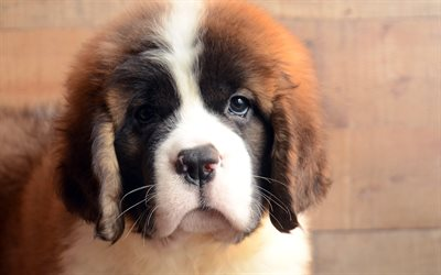 Cute Love Wallpaper Hq Download Wallpapers Saint Bernard Dogs Pets Puppy Cute