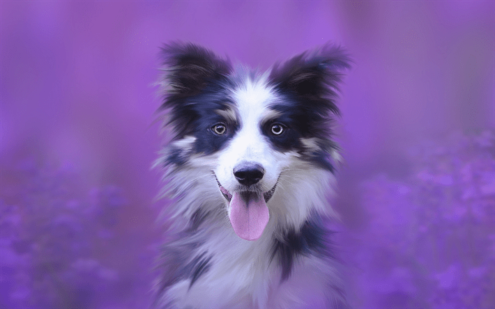 Cute Puppy Wallpapers Downloads Download Wallpapers Border Collie Small Puppy White