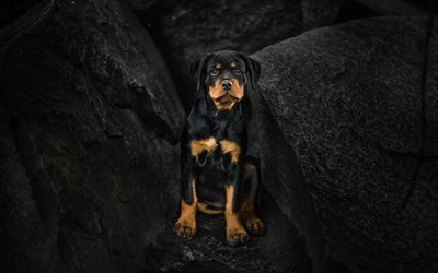 Cute Dogs Full Hd Wallpapers Download Wallpapers Rottweiler Dogs Puppy Cliffs Cute