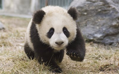 Cute Baby Animals Wallpapers Free Download Download Wallpapers Little Panda Cute Animals Bear Cub