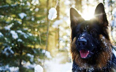 Download Cute Pets Wallpapers Download Wallpapers German Shepherd 4k Dogs Pets