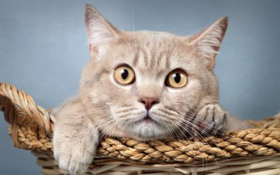 Cute Cat Wallpapers High Resolution Download Wallpapers British Shorthair Cat Domestic Cats