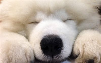 Desktop Wallpaper Of Cute Puppies Download Wallpapers Samoyed Dogs Cute Animals Puppy