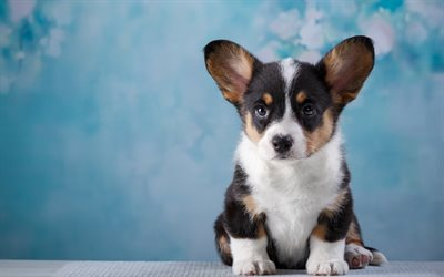 Cute Puppy Wallpapers Downloads Download Wallpapers Welsh Corgi Cardigan Small Puppy 4k