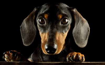 Cute Tech Wallpaper Download Wallpapers Dachshund Muzzle Dogs Cute Animals
