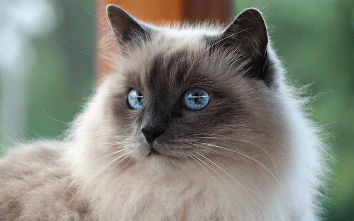 Cute Grey Cat Wallpaper T 233 L 233 Charger Fonds D 233 Cran Birman Beige Moelleux Chat