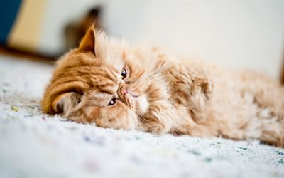 Cute Cat Wallpapers High Resolution Download Wallpapers Persian Cat Lazy Cat Cute Animals