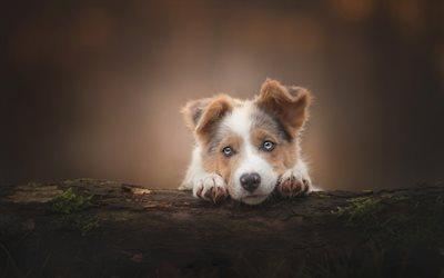 Cute Dog Puppy Wallpapers Download Wallpapers Australian Shepherd Dog Forest Cute