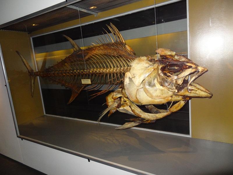 Skelett eines atlantischen Blauflossenthuns aus dänischen Gewässern aus den 1880ern. Zoologisches Museum Kopenhagen.