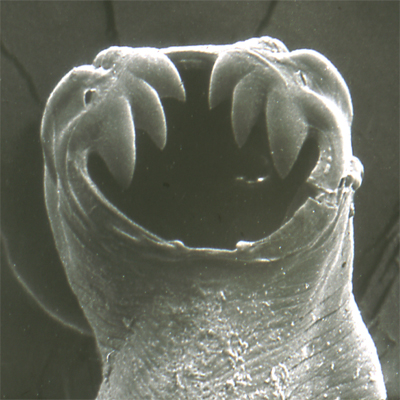 This image of the anti-book worm is still being authenticated by parasitologists