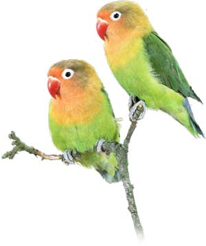 "Lovebirds, while highly social when unbonded, often lose interest in socializing when paired.This in human lovebirds, the initial ""honeymoon phase"" typically dissipates over time."