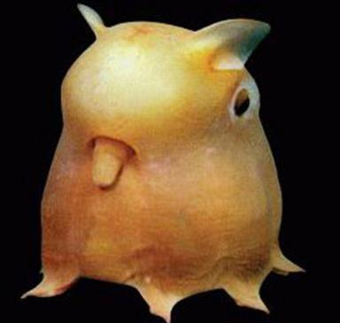 the dumbo octopus is among the most adorable of cepholopods