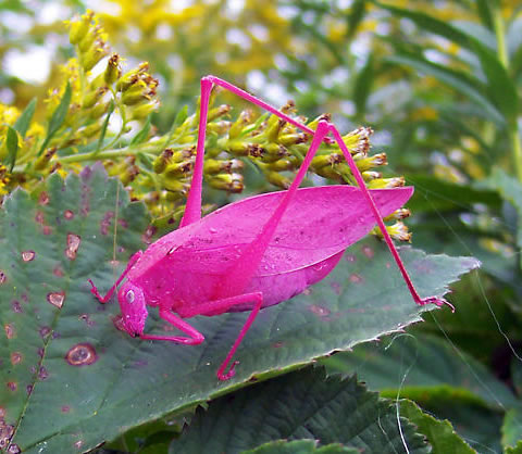 This Pink amblycorypha katydid gave his bride a gift, but she wishes he katy-didn't