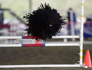 this mid-air mass of moving dreadlocks is actually a puli dog on an agility course