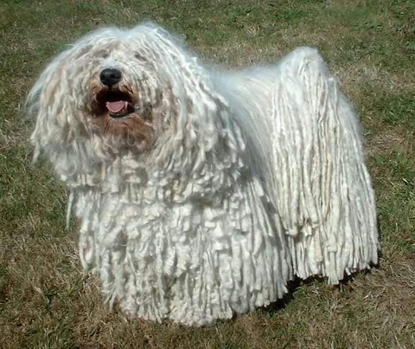 Puli's locks are not a race thing; black and white dogs alike sport the curly coils.