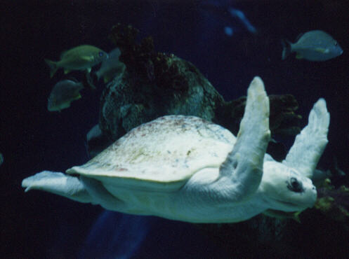 A near cousin to the well-known cartoon heroes, this is an adolescent albino kung-foo seaturtle