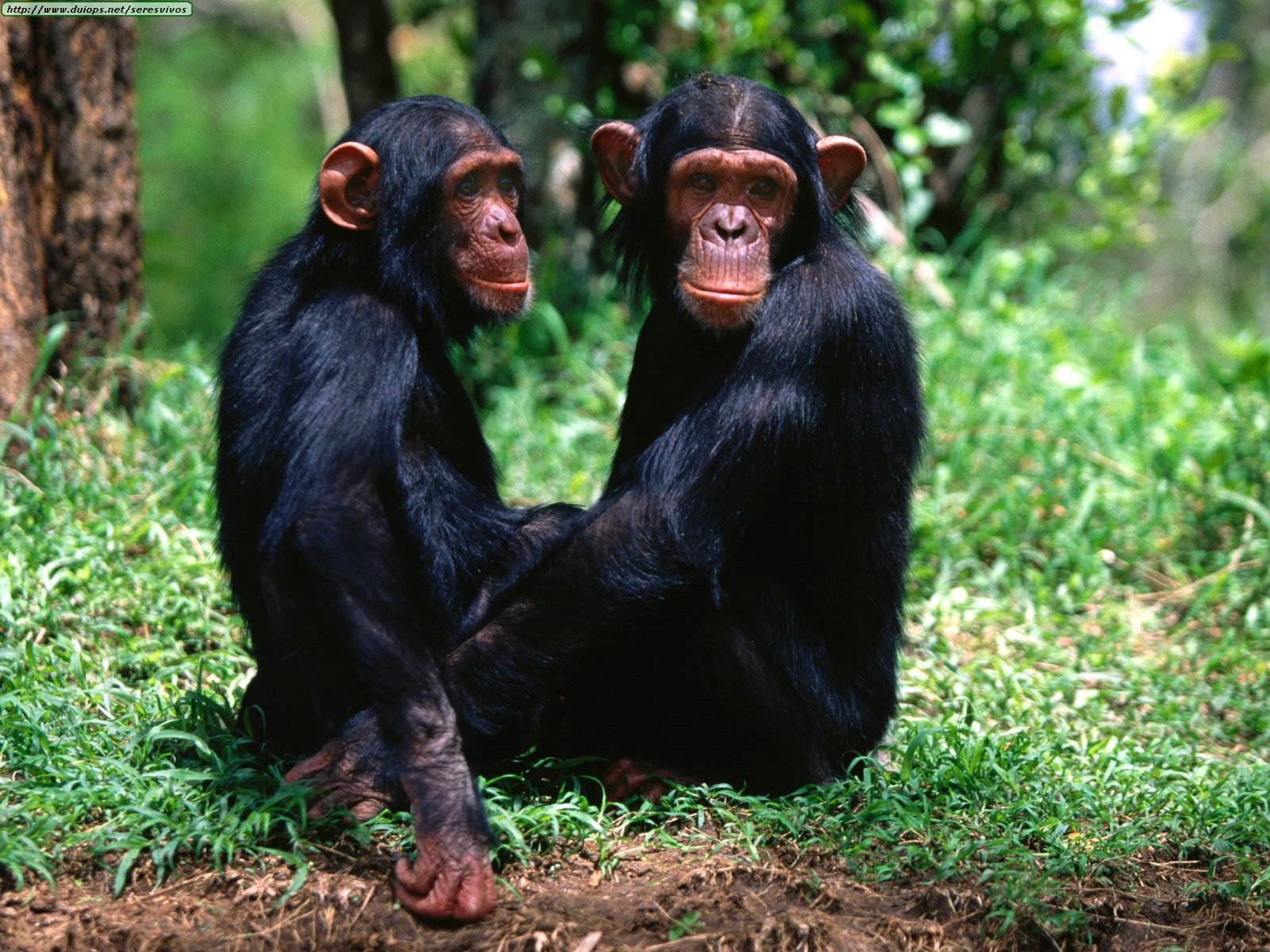 "Chimps- mother nature's ""working girls"""