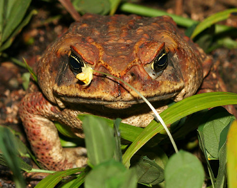 cane-toad-2