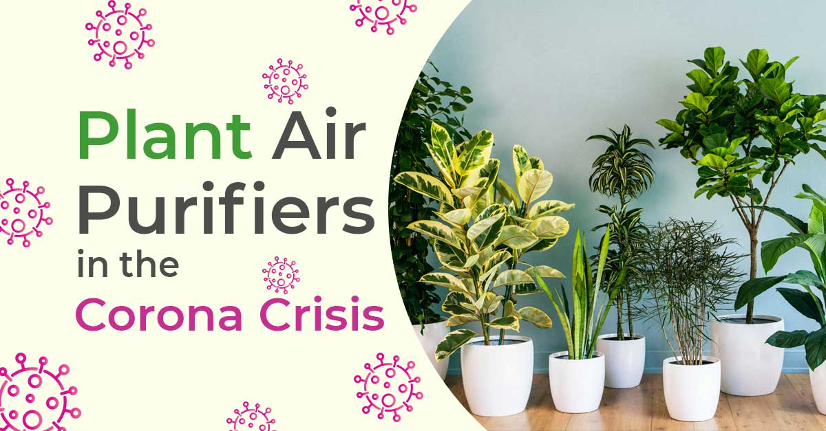 Plant air purifiers in the Corona Crisis