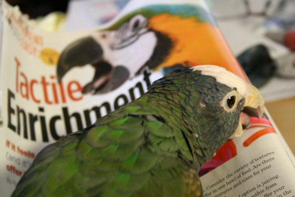 Pionus playing with magazine