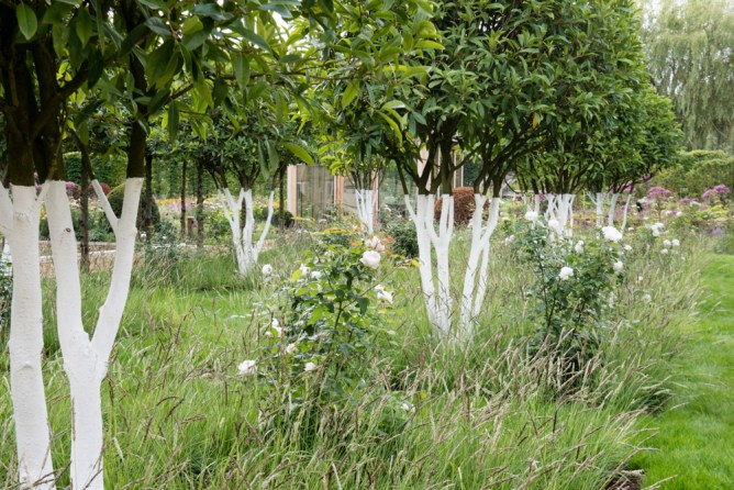 A grove of Sweet Olives - Osmanthus fragrans with painted white trunks and underplanted with Rosa 'Winchester Cathedral' and ornamental grasses. Garden designer: Anoushka Feiler