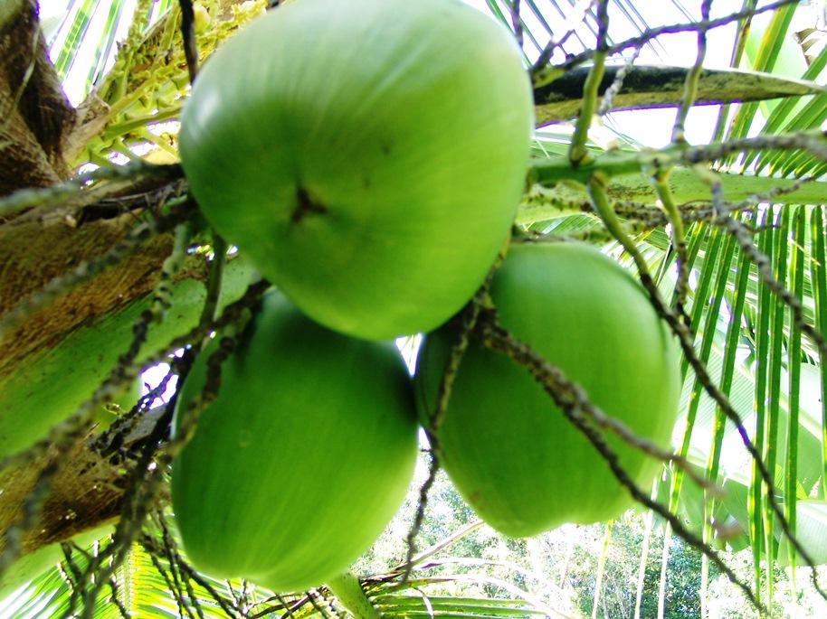Jamaican Coconut