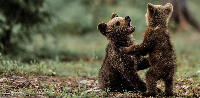 Two Bear Cubs Wrestle On A Backyard Trampoline