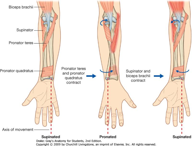 Elbow Complex – Anatomical Considerations   BEST Performance Group