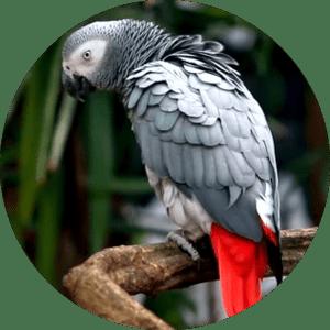 Cango african grey parrot