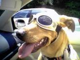 dog doggles