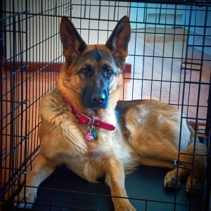 German Shepherd Dog resting comfortably during crate training.