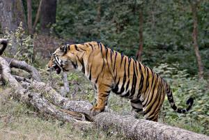 (Supergreenme.com) Bandhavgarh National Park Tiger