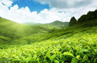 Munnar (Image courtesy-www.keralaholidays.com)