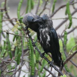House Crows in the rain