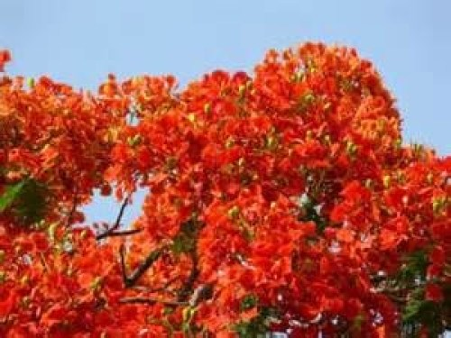 Gulmohar tree in full bloom