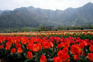 Tulips in Bloom, Srinagar (Photo Courtesy – Gowhar Butt)