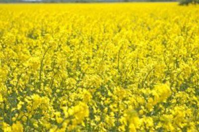 Canola, Summer, Field, Landscapes, Bed, Oilseeds-Surreal places to visit