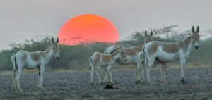 Sunset in Rann of Kutch- Wilds in Gujarat