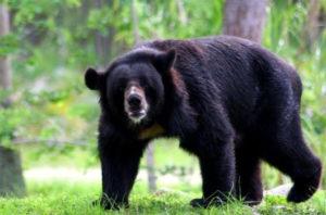 Sloth bear Ratan Mahal Sloth Bear Sanctuary -tribes and wilds in Gujarat