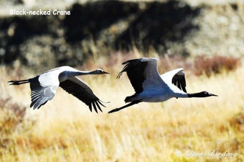 Black necked crane, birding tours