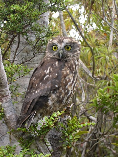 New Zealand ruru or owl (commonly called morepork) taken on the Heaphy Track, New Zealand, between Saxon and James Macky huts.