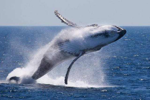 Whale Watching in Rurutu