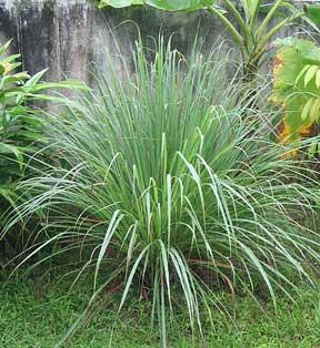 citronella-grass-mosquito