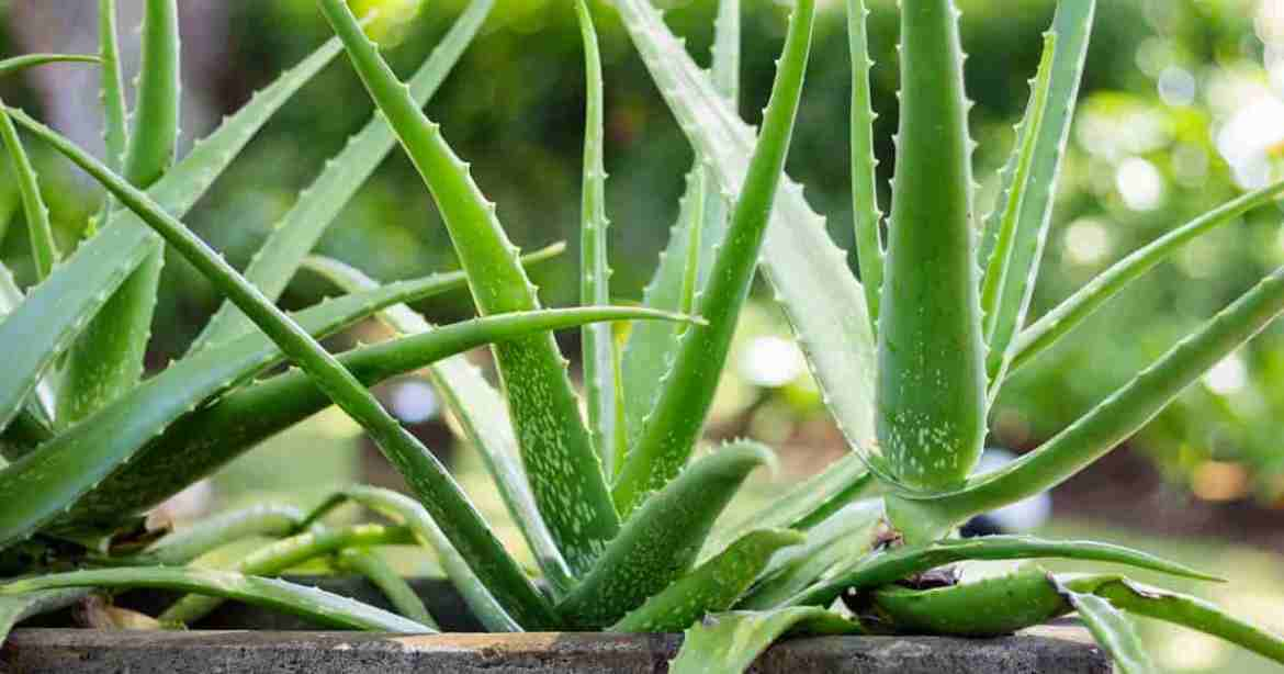 Aloe Vera Plant Care: How To Grow [15] Questions Answered -