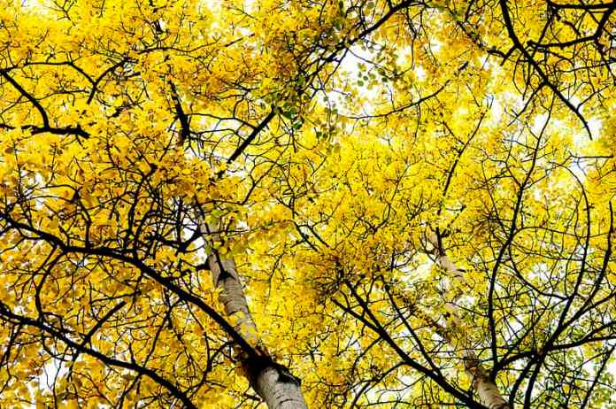 quaking-aspen-wikipedia-06302015