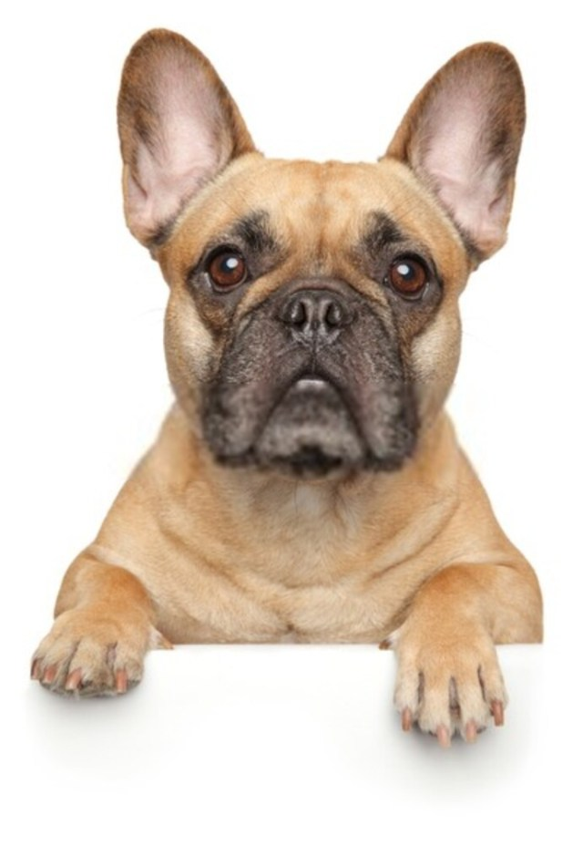 How Much Are French Bulldogs?