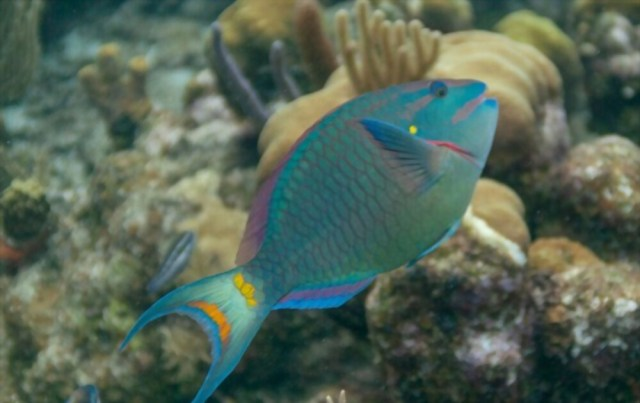 Parrotfish Information For the Owner image