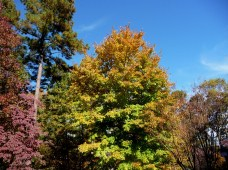Sugar Maple Turning Colors