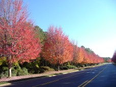 Bright Red Trees along Brawley School Road in The Point